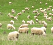 ニュージーランドの牧羊
