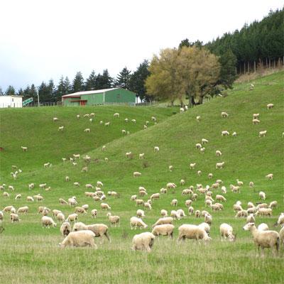 放牧で育てるニュージーランド