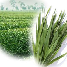 大麦若葉と緑茶エキス