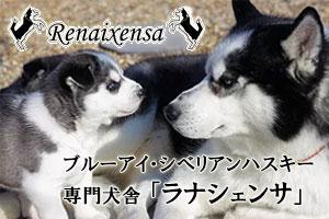 ブルーアイ・シベリアンハスキー専門犬舎「ラナシェンサ」