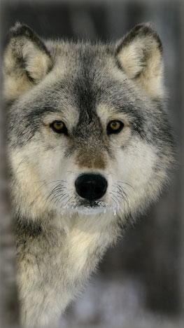リビングにいる狼