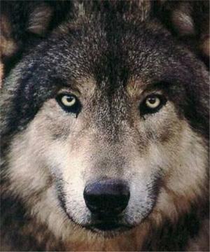 犬の先祖狼も実は雑食